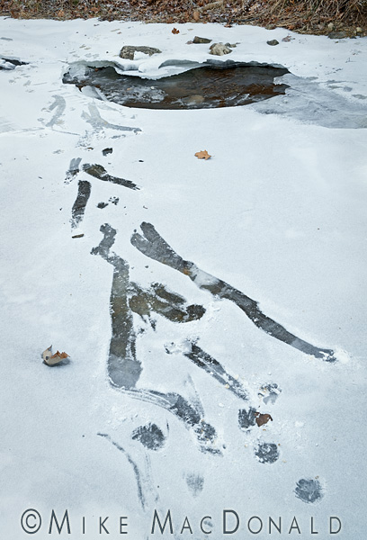 Here is clear evidence of raccoons slipping on the ice and breaking through the surface. ©2013 Mike MacDonald Photography, Inc.—ALL RIGHTS RESERVED. Please Contact Mike MacDonald for permission to use this or any image.