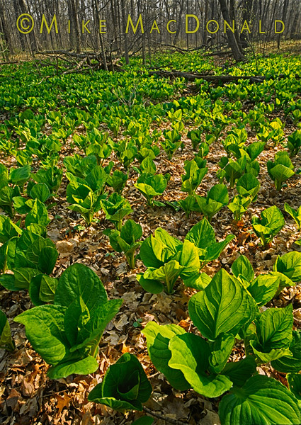 At Pilcher Park in Joliet, Illinois, the sun shines through the enormous fanning foliage of skunk cabbage, which if broken, will release a smell reminiscent of skunk.