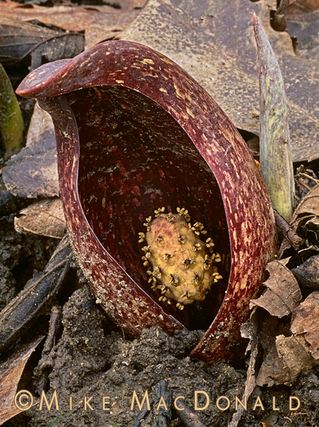 The maroon spathe of skunk cabbage blends with leaf litter on the woodland floor, making it difficult to find when it first emerges. However, the plant becomes more conspicuous as is grows larger and produces its unique yellow flowerhead known as a spadix. Location: Black Partridge Woods / Lemont, IL in the Cook County Forest Preserve District.