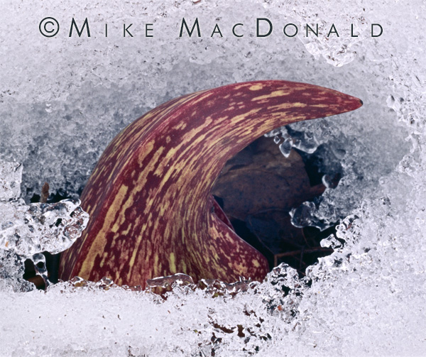 Skunk cabbage can generate its own heat, allowing this curling spathe of skunk cabbage to melt the surrounding snow and break through to the surface. Location: Black Partridge Woods, Lemont, Illinois in the Cook County Forest Preserve District.