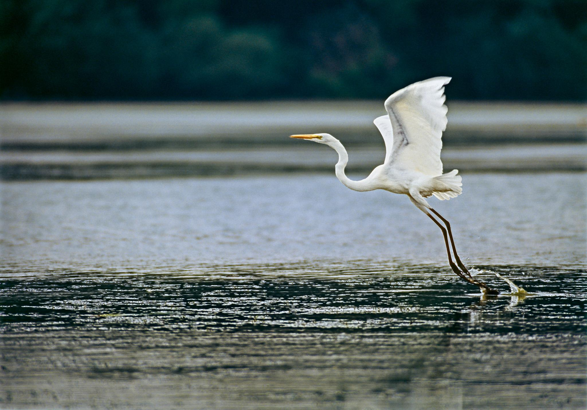 A great egret takes flight from the waters of McGinnis Slough near Orland Park, Illinois in Cook County Forest Preserves.