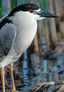 Black-Crowned Night Heron-0020