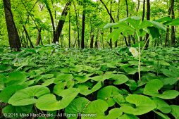 At Black Partridge Woods, take a look underneath the fanning mayapple leaf, and you may find a hidden waxy, white bloom. You may also discover a burgundy flower hiding beneath the heart-shaped leaves of wild ginger.