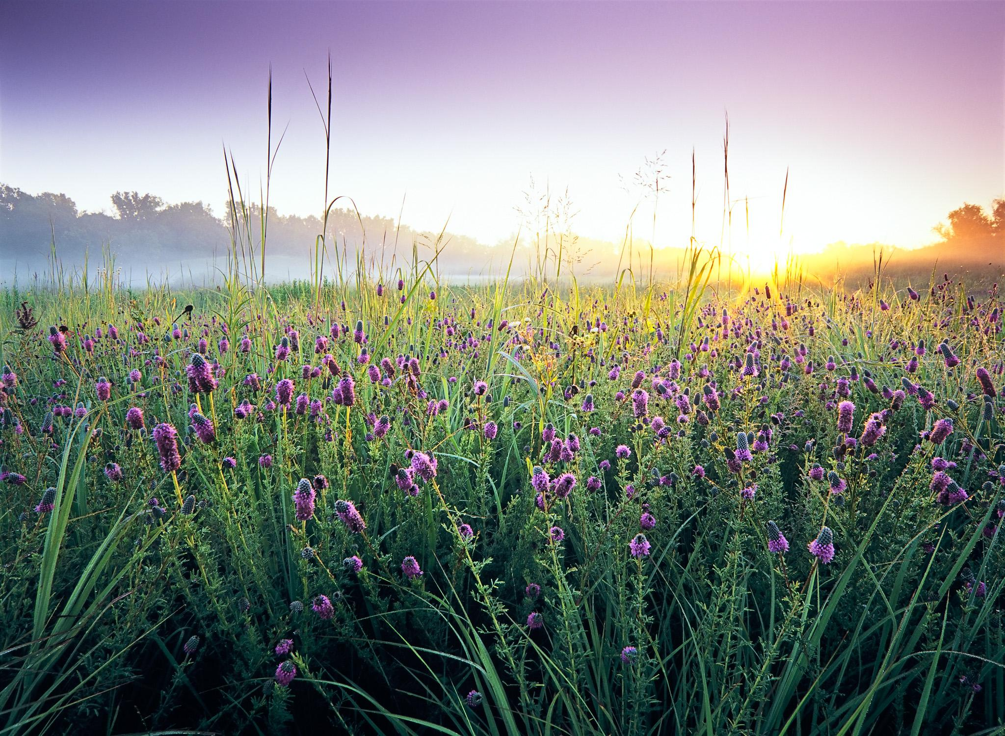 The morning sun breaks the early fog rising above the prairie at Bluff Spring Fen in Elgin, Illinois.