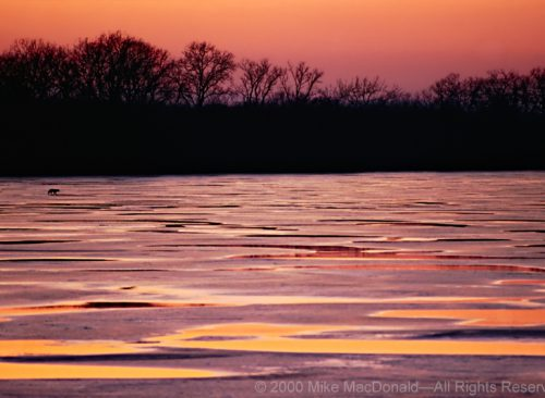 At the colorful end of a winter day, a solitary coyote crosses a partially frozen Saganashkee Slough.