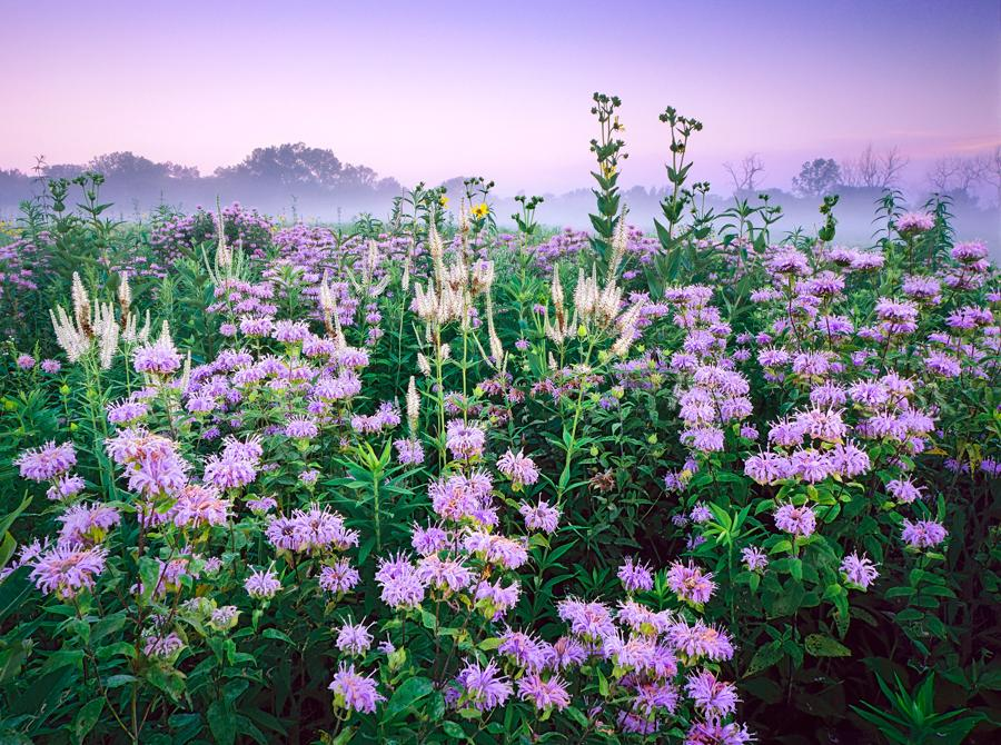 Menarda, Culver's Root, and Rosinweed combine in July to resemble a fireworks display at Wolf Road Prairie in Westchester, Illinios. White Culver's root seem to shoot upward like rockets, whle menarda appear as explosions of lavender.