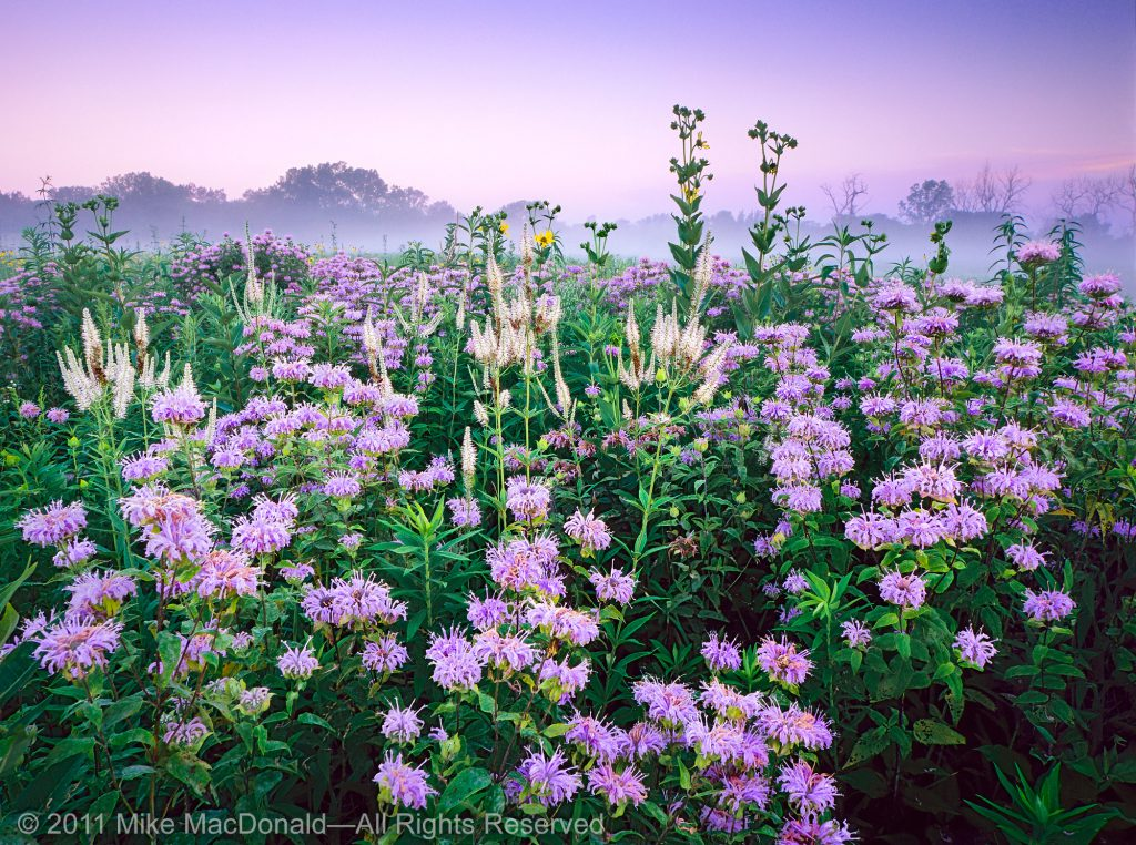 At Wolf Road Prairie in July, wildflowers combine to resemble a fireworks display.