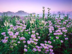Wild bergamot, Culver's Root, and Rosinweed combine in July to resemble a fireworks display at Wolf Road Prairie in Westchester, Illinios. White Culver's root seem to shoot upward like rockets, while bergamot appear as explosions of lavender.
