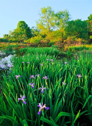 Blue flag iris blooms in the late-May wetland at Spears Woods in Willow Springs, Illinois.