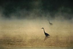Herons in the Mist - Edition of 1000