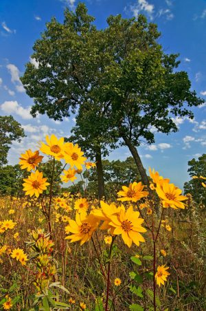 In a shining spot under the open canopy of the black oaks, western sunflowers smile in the September sun at Pembroke Savanna.