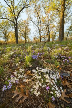 In May, Pembroke Savanna is home to blooms of white sand phlox and rare bird-foot violet.