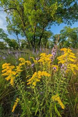 Field goldenrod and rough blazing star bring an air of autumn to the sand savanna at Pembroke Savanna in Hopkins Park, Illinois.