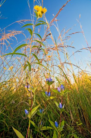 Blue bottle gentians survive under the shadow of the dense September prairie, where plants, like this sawtooth sunflower, can tower twelve feet into the air.