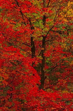 Red sugar maples above Rock Creek at Kankakee River State Park in Bourbonnais, Illinois